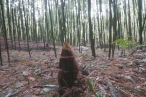 オーナー制度の竹林で生えたたけのこ