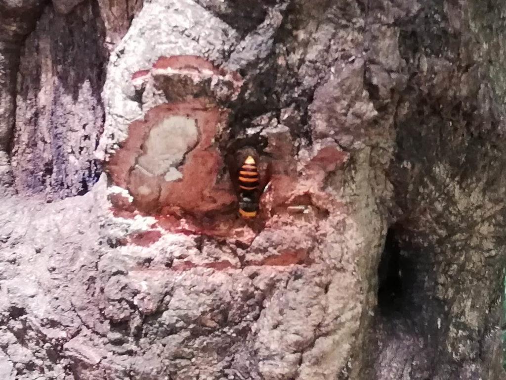 クヌギの木の樹液をすうスズメバチ