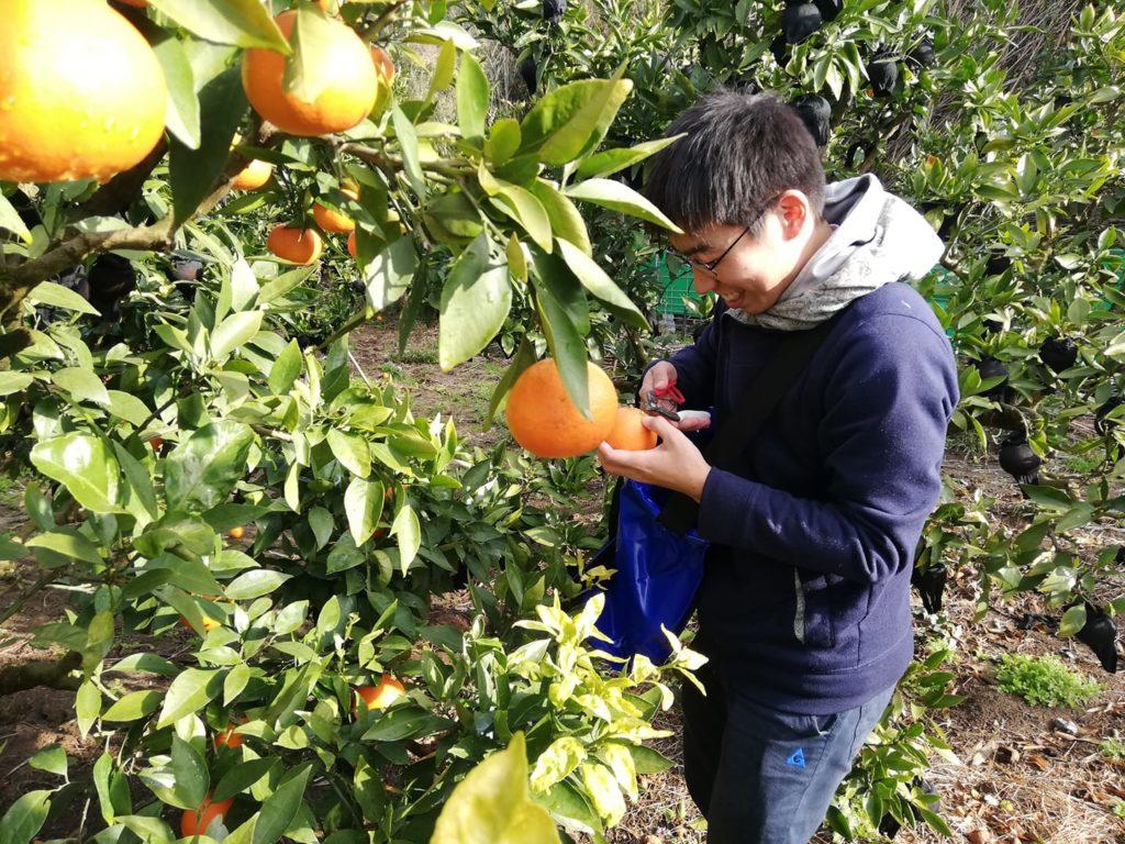 野辺・福の浦地区の農家できよみ(柑橘)の収穫を行う学生