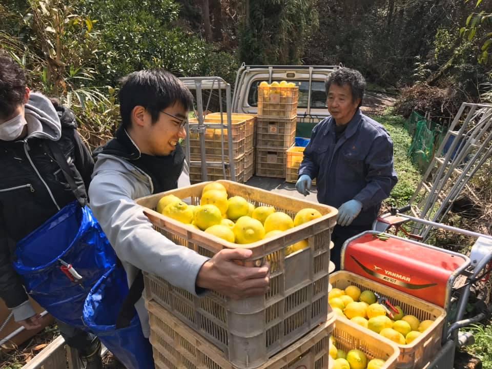 柑橘のはるかの収穫を手伝う学生と農家さん